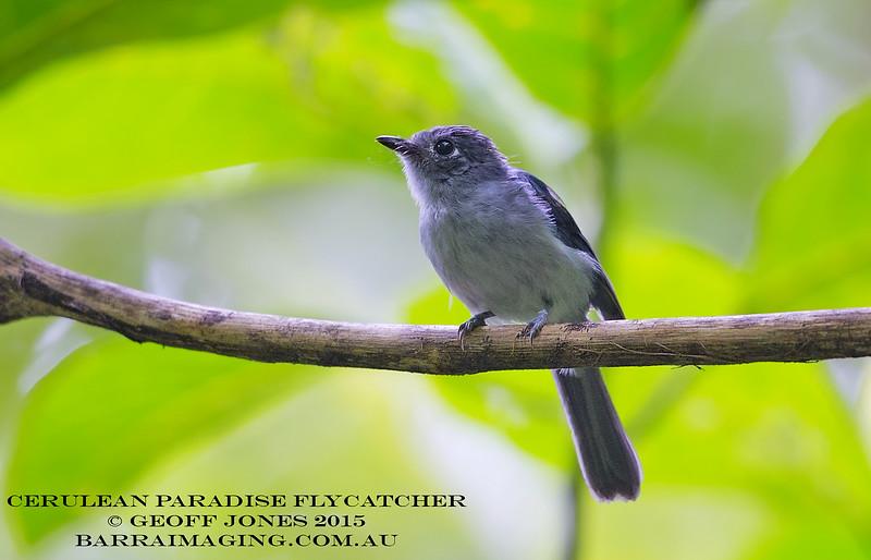 Cerulean Paradise Flycatcher female