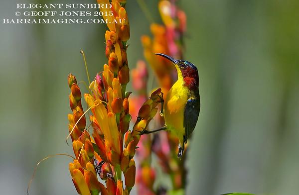 Elegant Sunbird male