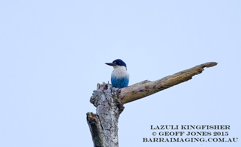 Lazuli Kingfisher male