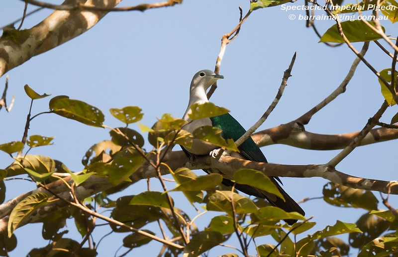 Spectacled Imperial Pigeon
