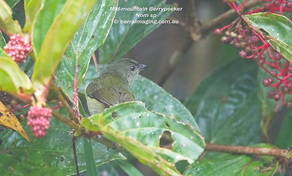 Mid-mountain Berrypecker