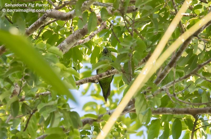 Salvadori's Fig Parrot