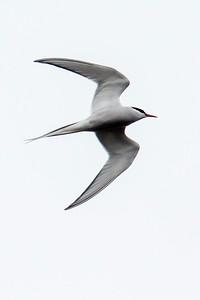 Arctic Tern - Borgarnes, Iceland