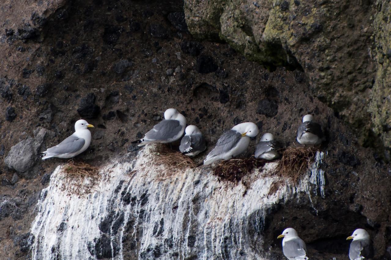 Black-legged Kittiwake on nest - Westman Islands, Iceland