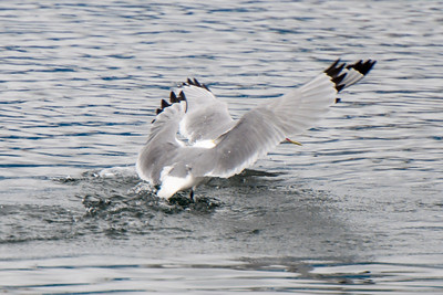 Black-legged Kittiwake squabbling - Westman Islands, Iceland