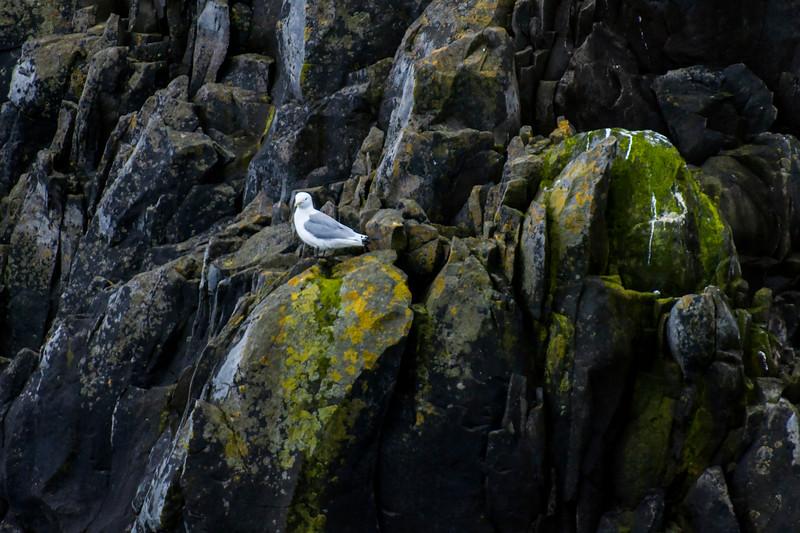 Black-legged Kittiwake - Westman Islands, Iceland
