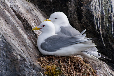Black-legged Kittiwake on nest - Breiðafjörður Islands, Iceland