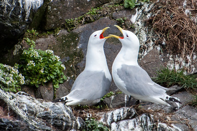 Black-legged Kittiwake - Displaying -  Breiðafjörður Islands - Stykkishólmur, Iceland