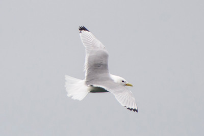Black-legged Kittiwake - Grindavik Harbor, Iceland