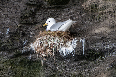 Black-legged Kittiwake on nest - Westman Islands, Iceland