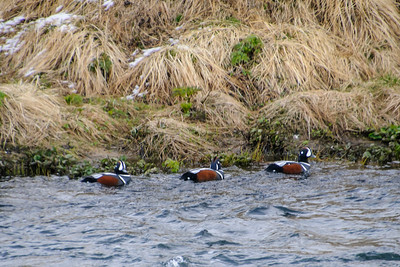 Harlequin Duck - Mývatn, Iceland