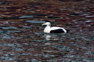 Common Eider - male - Westman Islands, Iceland