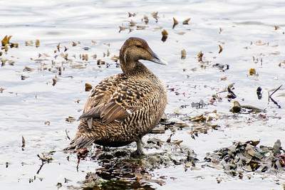 Common Eider - female - Akranes, Iceland