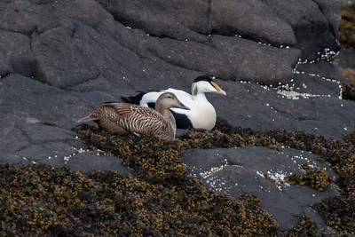 Common Eider - male and female - Akranes, Iceland