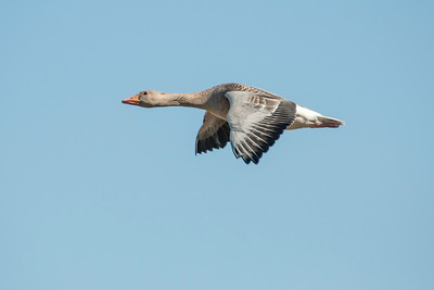 Greylag Goose - Skálholt, Iceland