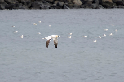 Northern Gannet - Grindavik Harbor, Iceland