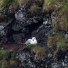Northern Fulmar on nest - Arnarstapi - Iceland