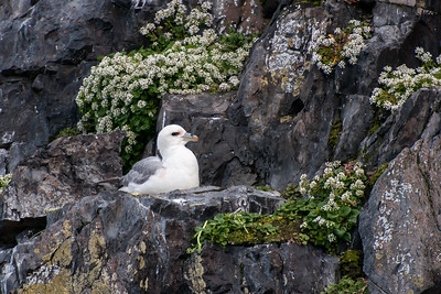 Northern Fulmar on nest - Breiðafjörður Islands - Iceland
