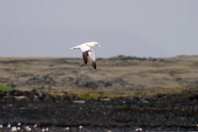 Northern Gannet - Grindavik, Iceland
