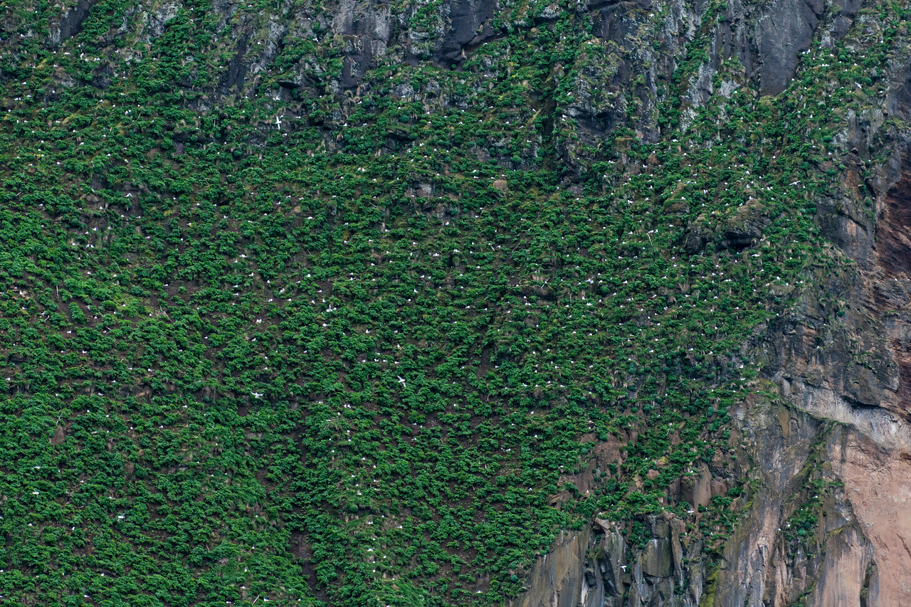 All the white spots in this photo are Northern Fulmars sitting on nests - Westman Islands, Iceland