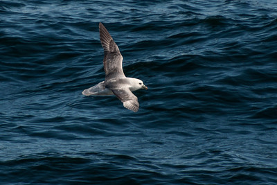 Northern Fulmar - Westman Islands, Iceland