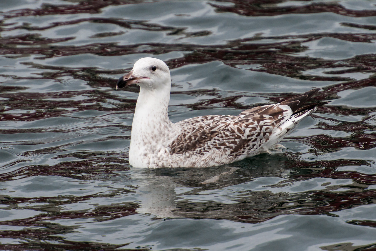 Great Black-backed Gull - juvenile - Westman Islands, Iceland