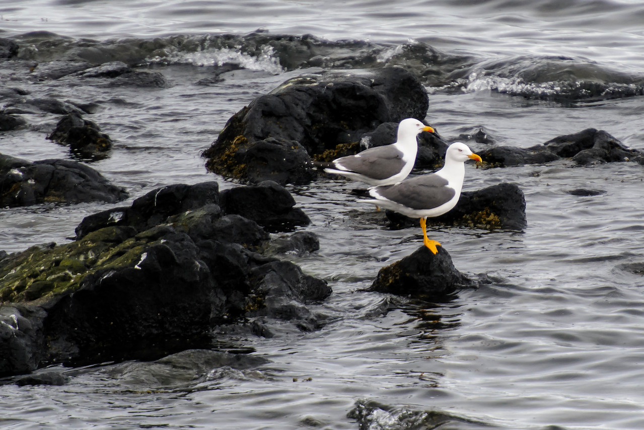 Lesser Black-backed Gull - Grindavik Harbor, Iceland