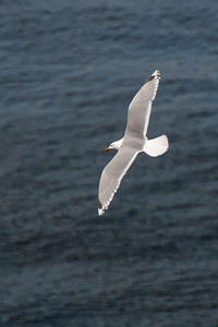 Herring Gull - Westman Islands, Iceland