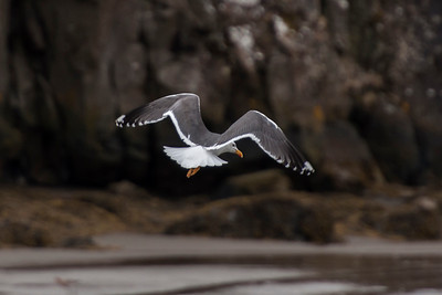 Lesser Black-backed Gull - Borgarnes, Iceland