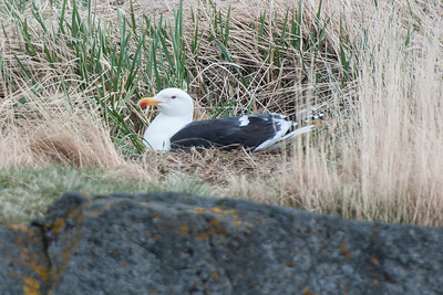 Great Black-backed Gull on nest - Breiðafjörður Islands, Iceland