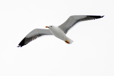 Lesser Black-backed Gull - Grindavik Harbor, Iceland