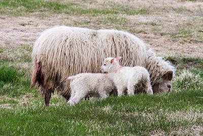 Icelandic Sheep - Skagafjörður, Iceland