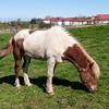 Iceland Horse - Icelandic Open Air Museum, Reykjavik, Iceland
