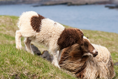 Icelandic Sheep - Westman Islands, Iceland