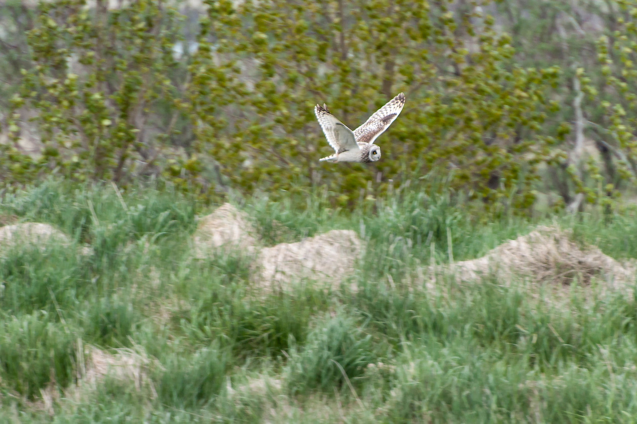 Short-eared Owl - Reykjavik area, Iceland