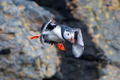 Atlantic Puffin - Breiðafjörður Islands - Stykkishólmur, Iceland