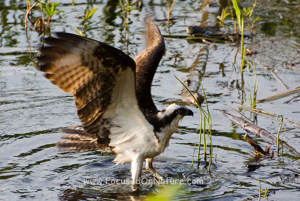Wet Osprey Drying it's Wings