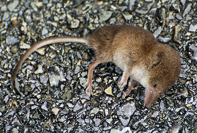 Unknown Shrew (Stunned not dead)