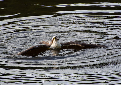 Swimming Osprey