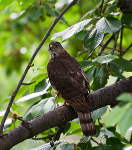 Sharp-shinnedHawk
