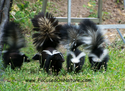 Striped Skunk Family