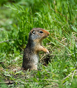 Juvenile Columbian Ground Squirrel