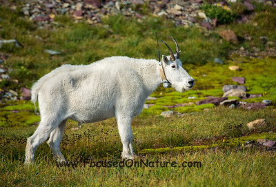 Collared Mountain Goat