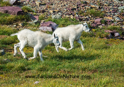 Mountain Goat Kids Running
