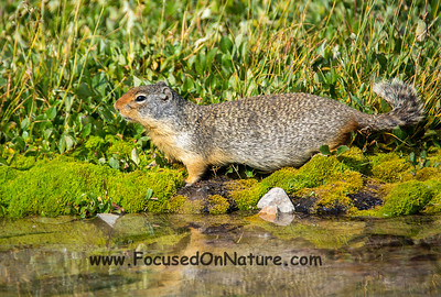 Columbian Ground Squirrel