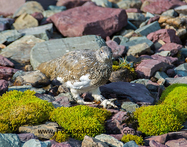 White-tailed Ptarmigan - #21