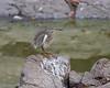Pond Heron