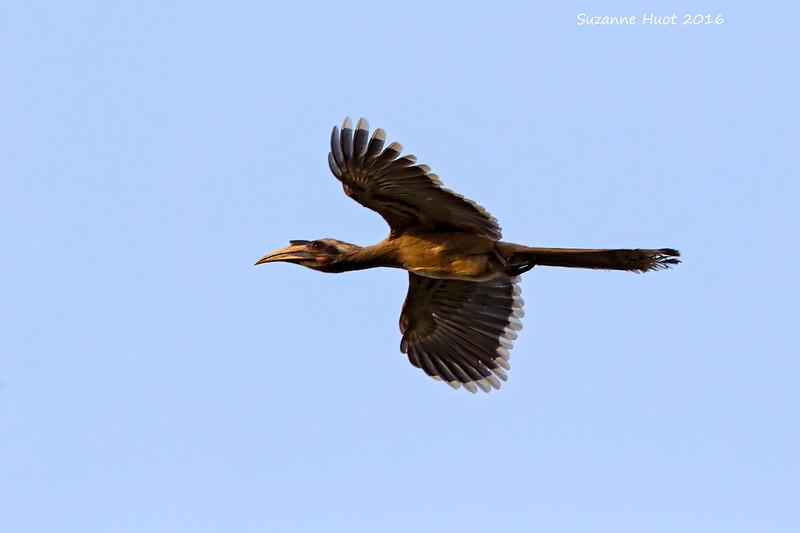 Indian Grey Hornbill in flight.