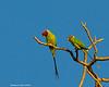 Plum-headed Parakeet.