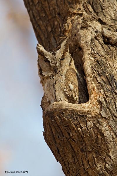 Indian Scops Owl.